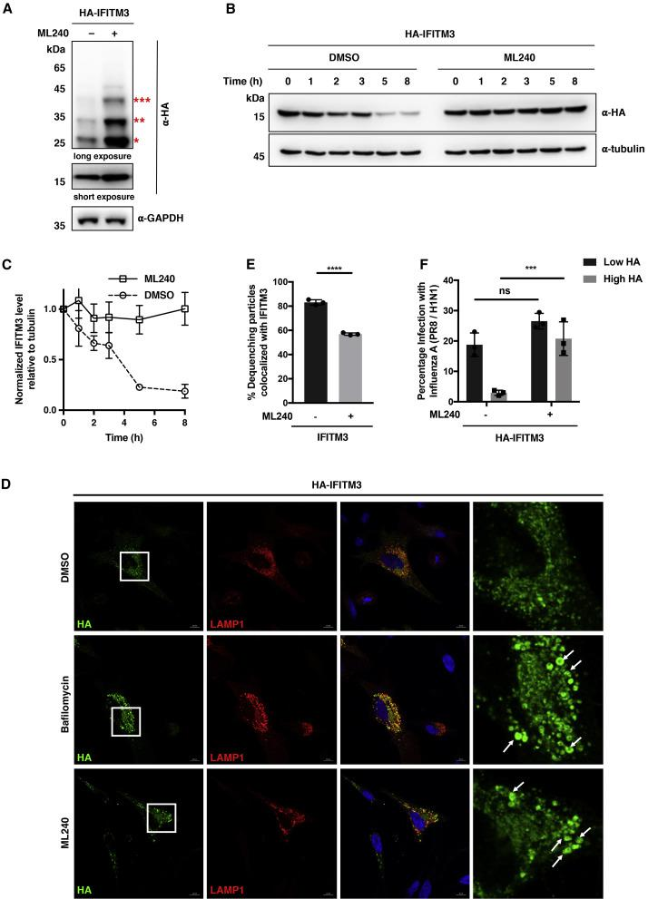 Chemical Inhibition of VCP ATPase Activity with ML240 Impairs IFITM3 Turnover, Lysosomal Sorting, and Trafficking (A) Analysis of IFITM3 and ubiquitination levels upon treatment with ML240. HEK293T cells were transfected with HA-IFITM3 for 12 h, treated with DMSO or ML240 (2.5 μM) for another 12 h, and then lysed for western blot analysis. The red asterisks indicate IFITM3 ubiquitination bands with high molecular weights. (B) Analysis of IFITM3 turnover upon treatment with ML240. HeLa cells expressing HA-IFITM3 were treated with CHX (25 μg/mL) for the indicated times in the presence of DMSO or ML240 (2.5 μM) and lysed for western blot analysis. (C) Quantification of IFITM3 levels normalized to tubulin levels shown in (B). Data are represented as mean ± SD, n = 3. (D) Immunofluorescence analysis of HA-IFITM3 in the presence of <t>bafilomycin</t> A1 or ML240. HeLa cells were transfected with HA-IFITM3 and mCherry-LAMP1, treated with DMSO, bafilomycin A1 (100 ng/mL), or ML240 (2.5 μM) for 12 h, and processed for immunofluorescence with an Alexa Fluor 488-conjugated anti-HA antibody. Scale bars, 10 μm. The right panels show magnified squared regions in the corresponding left panels. White arrows indicate enlarged IFITM3-containing compartments. (E) Relative percentage of DiD-IAV particles colocalized with IFITM3 at the time of dequenching upon ML240 treatment. HeLa IFITM2/3-KO cells expressing BODIPY-labeled IFITM3 were infected with DiD-IAV particles, acutely treated with ML240 (1 μM), and monitored for DiD dequenching and IFITM3 trafficking by time-lapse imaging. Data are represented as mean ± SD of three independent experiments. ∗∗∗∗p