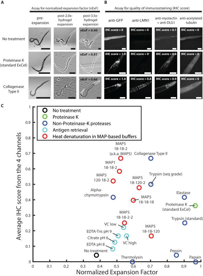 Screen of post-gelation treatments that confer tissue expandability and general stainability of epitopes. ( A ) Representative transillumination images of paraformaldehyde-fixed, β-mercaptoethanol-reduced, AcX-treated, and hydrogel-embedded hermaphrodite animals, (left column) right after hydrogel embedding and prior to any hydrogel expansion, (middle column) after 1.9x-2.1x hydrogel expansion, by incubating the gelled sample in 1x PBS, or (right column) after 3.3–3.7x hydrogel expansion, by sequentially washing the gelled sample with 0.5x PBS, 0.1x PBS, and 0.01x PBS. After hydrogel embedding, gelled samples either are left in TNT buffer (top row; no treatment), processed with a 2 day 37°C Proteinase K digestion, as in the standard ExCel protocol (middle row), or processed with a 5 day 37°C collagenase type II digestion (bottom row). Transillumination images provide visualization to both the contour of the worm (traced under high digital magnification in black dotted lines, in cases where direct observation is difficult due to reduced tissue scattering after hydrogel expansion), and also the contour of the mold in the embedding hydrogel (traced in white dotted lines, in cases where direct observation is difficult to reduced gel-boundary scattering after hydrogel expansion). For each treatment, the expansion factor of the worm (measured as the length ratio of a worm in the pre-expansion and the post-3.5x-expansion (hydrogel) state) is normalized by the expansion factor of the embedding hydrogel, which results in a normalized expansion factor (abbreviated as nExF), to remove the variation on worm expansion factor due to inter-sample variation in the hydrogel expansion factor. For the no-treatment condition (top row) and the collagenase type II condition (bottom row), where the normalized expansion factors are markedly less than unity (0.40 and 0.66, respectively), the hydrogel-embedded worm tissue detaches from the surrounding hydrogel, due to tissue mechanical hindrances against expansion that are incompletely removed by the post-hydrogel-embedding treatment, and can be visualized by the extent of mismatch between the worm contour and the hydrogel-mold contour. Images are single-plane wide-field acquisitions. For post-2.0x- and 3.5x- images, in cases where uneven illumination from the bright-field light source strongly affects contour visualization, a band-pass filtering with the boundary of 3 and 30 pixels was performed with the Fiji function 'Bandpass Filter' to remove the illumination artifact, and to improve contour visualization. Brightness and contrast settings: first set by the automatic adjustment function in Fiji, and then manually adjusted (raising the minimum-intensity threshold and lowering the maximum-intensity threshold) to improve contrast for the boundaries of the worm and the mold. Scale bars: 300 μm in actual units (not converting to biological units here, since the two features (worm and hydrogel-mold) are associated with different expansion factors). ( B ) Representative images of the immunostaining of hydrogel-embedded animals in ( A ), via a panel of 5 primary antibodies with known patterns of staining. Due to spectral limitation, the five antibodies were separated into four spectrally separable channels (DyLight 405 for anti-GFP, Alexa 488 for anti-LMN1, Alexa 546 for anti-myotactin and anti-DLG1, Alexa 647 for anti-acetylated tubulin). An IHC score from 0 to 1 was manually assigned to each channel, based on the estimated signal-to-noise ratio of the expected pattern of staining, and thereby provides a rough quantification for the quality of immunostaining of each antibody (or pair of antibodies) following the specified post-hydrogel-embedding treatment. The strain used had pan-neuronal cytosolic expression of GFP ( tag-168p::GFP ). A few patterns of channel crosstalk, such as the anti-GFP signal observed in the anti-myotactin + anti-DLG1 channel, were observed but do not affect the scoring process, because the known patterns of staining for each of the five antibodies were spatially separable (GFP, pan-neuronal by promoter choice; LMN1 (lamin), nuclear; myotactin, periphery of pharyngeal muscle and beneath cuticle; DLG1 (disc large), adherens junctions that form characteristic thread-like patterns across the length of the worm; acetylated tubulin, touch-receptor neurons). Images are max-intensity projections of confocal stacks acquired through the entire animal. Brightness and contrast settings: individually set by the automatic adjustment function in Fiji. Linear expansion factors of the hydrogel: 1.9–2.1x (after immunostaining, the samples were left in 1x PBS and imaged in that state, without further expansion in deionized water; we decided to use this procedure here, because we observed that even at this partially expanded state, we could already evaluate whether the staining against protein targets yielded the expected patterns of localization, as demonstrated by the images in this panel, without the additional improvements in resolution that would result from further expansion of the samples). Linear expansion factors of the worm: no treatment, 1.1x; Proteinase K (standard ExCel), 1.9x, Collagenase Type II, 1.6x. Scale bars: left images, 50 μm (in biological units, i.e. post-expansion lengths are divided by the expansion factor of the worm). ( C ) Summary of the screen of 22 post-hydrogel-embedding treatments, each of which is characterized by (X axis) the post-treatment expandability of the worms, as quantified by the normalized expansion factor analysis as performed in A, and (Y axis) the post-treatment quality of immunohistochemistry, as quantified by the average of IHC scores across the four channels in the immunostaining assay as performed in B. Each dot represents a single treatment. See Methods for the protocol performed for each treatment. Treatments are grouped based on the nature of the protocol, and colored according to the group they belong to (legend). X- and Y- coordinates of each treatment represent the mean values of all animals analyzed in the expandability assay (which quantifies the normalized expansion factor, as in A) and the immunostaining assay (which quantifies the IHC score, as in B), respectively. Number of animals analyzed in the assay: expandability assay, 3–4 animals from 1 hydrogel sample; 4-channel immunostaining assay, 2–4 animals from 1 hydrogel sample, except for the papain treatment (1 animal). The condition displayed as MAP5 18-18-2 (heat denaturation in MAP5 buffer for 18 hr at 37°C, 18 hr at 70°C, and 2 hr at 95°C) is abbreviated as simply 'MAP5' in later figures. Source data of the measurements made in the expandability and the stainability assays are available in Figure 11—source data 1 . Measurements for the expandabiliy and stainability assays, whose population statistics are summarized in Figure 11C .