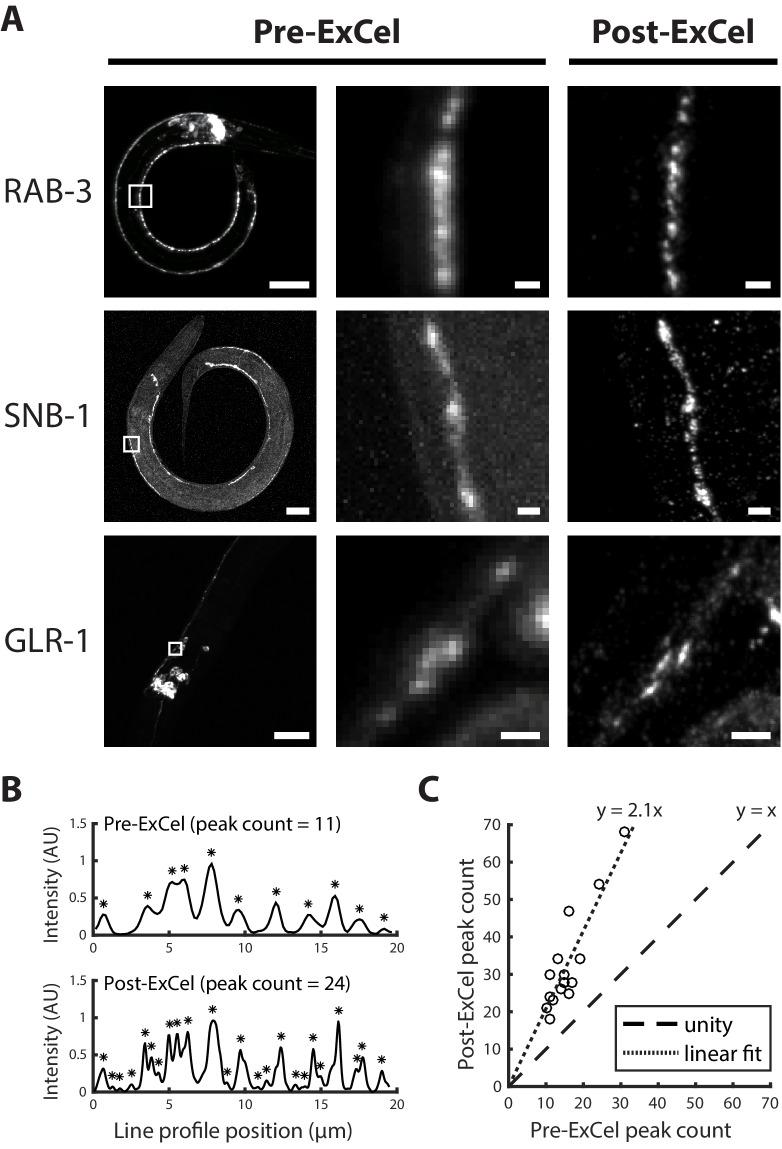 Super-resolution imaging of synaptic proteins with ExCel. ( A ) Representative images of GFP-fused synaptic proteins RAB-3, SNB-1 and GLR-1 in paraformaldehyde-fixed, β-mercaptoethanol-reduced, AcX-treated, and hydrogel-embedded (as in Figure 1A–C, E–G ) hermaphrodite animals, before Proteinase K digestion, partial expansion to 1.8x, antibody staining, and expansion to 3.8x ('pre-ExCel') or after such treatments ('post-ExCel'). Middle images are magnified views of the boxed regions in the left images. Strains express GFP fusions of pre-synaptic proteins RAB-3 ( rab-3p::GFP::rab-3 ) or SNB-1 ( unc-25p::snb-1::GFP ), or post-synaptic protein GLR-1 ( glr-1p::glr-1::GFP ). Signals in the pre-ExCel images were from native GFP; signals in the post-ExCel images were from antibody staining against GFP. Images are max-intensity projections of confocal stacks acquired through the regions of interest. Brightness and contrast settings: left images, individually set by the automatic adjustment function in Fiji; center and right images, first set by the automatic adjustment function in Fiji, and then manually adjusted (raising the minimum-intensity threshold and lowering the maximum-intensity threshold) to improve contrast for the synaptic puncta. Linear expansion factors: post-ExCel images, 3.8x. Scale bars: left images, 20 μm; middle and right images, 1 μm. ( B ) Representative line intensity profiles of RAB-3::GFP along a section of the ventral nerve cord, from pre- (top) and post- (bottom) ExCel images acquired as in the top row of A (except that the last wash in deionized water is skipped, resulting in improved stability of antibody stained signal and 3.3x linear expansion, as discussed in Main Text). Fluorescent intensity values were linearly normalized to arbitrary units between 0 and 1. Expansion factors of the analyzed post-ExCel image: 3.3x. Asterisks, detected peaks. ( C ) Peak counts of the line intensity profiles of RAB-3::GFP along sections of ventral nerve cord or SAB axonal processes, pre- and post-ExCel, as plotted in B. Each dot represents a single line profile. Expansion factors of the analyzed post-ExCel images: 3.3x. Dashed line, unity; dotted line, linear fit. n = 16 line profiles from 7 animals in 2 separately processed populations. Source data of the line intensity profiles and their peak counts are available in Figure 6—source datas 1 and 2 , respectively. Line intensity profiles for all data points plotted in Figure 6C . Peak counts for all data points plotted in Figure 6C .