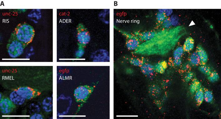 RNA detection in neurons, at sub-cellular resolution. Representative images of ExCel-processed (formaldehyde-fixed, β-mercaptoethanol-reduced, LabelX- and AcX-treated, hydrogel-embedded, Proteinase-K digested and re-embedded; as in Figure 1A–I, M, N ) hermaphrodite animals labeled with anti-GFP (green), DAPI (blue) and ExFISH-HCR (red) against specified mRNA transcripts (red text). Strain expressed tag-168p::GFP . Brightness and contrast settings: first set by the automatic adjustment function in Fiji, and then manually adjusted (raising the minimum-intensity threshold and lowering the maximum-intensity threshold) to improve contrast for cellular morphology and ExFISH puncta. Linear expansion factors: 3.1–3.3x. Scale bars: 5 μm. ( A ) Sub-cellular localization of mRNA transcripts in identified single neurons. White text indicates the identity of the displayed neuron, which was determined based on stereotypical somatic location (via GFP signal) and prior knowledge of the expression patterns (via ExFISH signal). Images are max-intensity projections over 5 z-planes (with step size of 0.4 μm, in absolute distance, i.e. post-expansion distance) centered (in z-dimension) at the centerline of the imaged cell. ( B ) Localization of egfp mRNA transcript in the head region of an L2 larval animal. White arrowhead, nerve ring.
