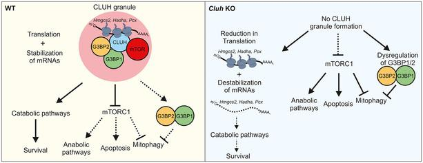 Model of CLUH function in the liver CLUH forms granules containing target mRNAs and regulates their translation. In addition, CLUH granules recruit G3BP1, G3BP2, and mTOR, thereby enhancing mitophagy and inhibiting mitochondrial anabolic pathways. Together, these roles of CLUH are crucial in the liver to survive starvation. In the absence of CLUH, CLUH granules do not form resulting in reduced translation of Hmgcs2 , Hadha, and Pcx mRNAs, in failure to suppress mTORC1‐dependent anabolic pathways, and in a block in mitophagy.