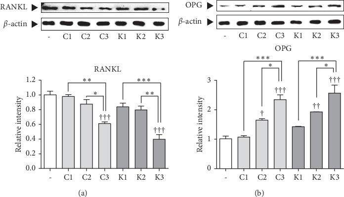 Effects of samples on osteoclast differentiation mediators, RANKL, and OPG in SaOS-2 cells. (a). Effects of samples on RANKL protein levels in SaOS-2 osteosarcoma and expression of RANKL, osteoclast differentiation factor, in SaOS-2 osteosarcoma cells. (b). Effects of samples on OPG protein levels in SaOS-2 osteosarcoma. Expression of OPG, RANKL inhibitor, in SaOS-2 osteosarcoma cells † p