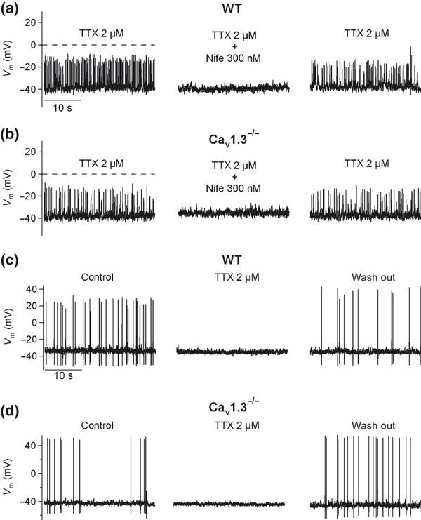 Contribution of Cav1 channel subtypes to pacemaking activity. (a–b) In a different set of experiments performed under the current‐clamp configuration, the spontaneous oscillatory activity resistant to TTX, obtained in half the cells treated with this toxin, was reversibly abolished by 300 nM nifedipine in WT (a) or Cav1.3 −/− cells (b). In the other half of the cells, reversible blockade of spontaneous action potentials by 2 μM TTX in WT (c) or Cav1.3 −/− (d) cells was achieved. Data were obtained in two paired cultures of WT and Cav1.3 −/− cells using two mice of each strain.