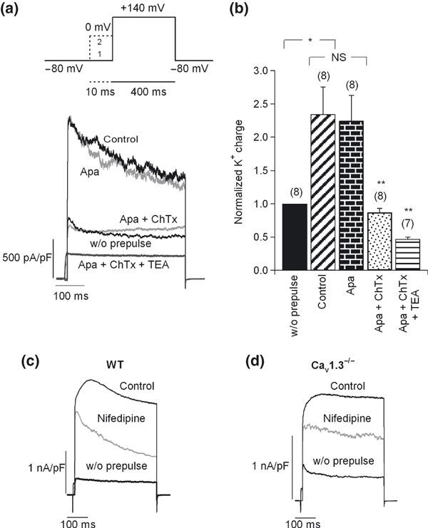Coupling of Cav1 channel subtypes to BK channels. (a) Upper section: double‐pulse protocol used to recruit BK channels. This included a 400 ms test pulse ( V t ) to 140 mV or above that potential (trace 1), followed by a 10‐ms pre‐pulse applied at 0 mV before V t (trace 2). The Ca 2+ dependent K + currents activated using this protocol were BK channels. Lower section: original K + current traces recorded using the above protocol under control conditions and after perfusion with different K + channel blockers, added sequentially and cumulatively: first, 200 nM apamin, 100 nM charibdotoxin (ChTx), and finally 45 mM TEA. Pulses were applied every 2 min. Numbers of cells are indicated in parentheses. (b) The K + charge density was averaged and normalized for each condition with respect to the current in the absence of a pre‐pulse. (c–d) Effects of 3 μM nifedipine on BK channel currents in WT (c) and Cav1.3 −/− cells (d). Number of cells: 14 WT cells, 11 Cav1.3 −/− cells. Data were obtained in four paired cultures of WT and Cav1.3 −/− cells, using two mice of each strain.