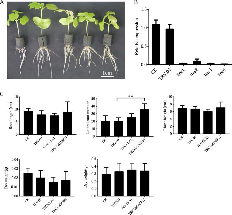 GaCASP27 silenced plants have an increased number of lateral root phenotypes in G. arboreum . a Phenotypes of gene silencing plants were observed 2 weeks after infiltration. The plants from left to right were blank control (CK), negative control (TRV:00), positive control (TRV: CLA1) and two GaCASP27 -silenced lines. b The expression levels of GaCASP27 in the blank control, negative control and silenced cotton plants were conducted through qRT-PCR All experiments were analyzed with three independent biological replicates. c Two weeks after infiltration, the root length, lateral root number and plant height were determined in GA0149 accession. All experiments were analyzed based on three independent biological replicates. The significant difference analysis was performed using the t-test at P ≤ 0.05