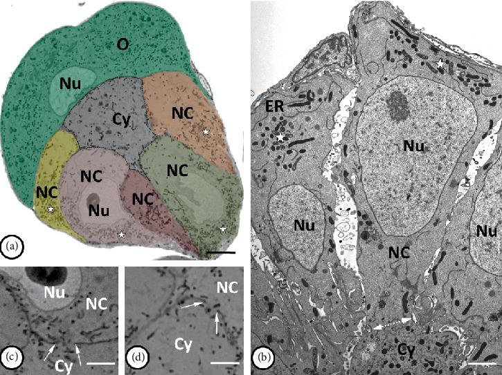 Organization of the mitochondria in syncytial germ-line cysts. (a) and (b) The accumulations of mitochondria ( stars ) are located mainly in the one pole of the nurse cells (NC) opposite the ring canal ( bilateral dotted arrow in (b)), while in the cytophore ( Cy ) the mitochondria were evenly scattered in the cytoplasm. Nuclei of the nurse cells and oocyte ( O ) are marked as Nu ; tubules of the endoplasmic reticulum as ER . (c) and (d) the mitochondria (stained black) are visible passing through the ring canals ( arrows ) connecting the nurse cells ( NC ) to the cytophore ( Cy ). Nu – nurse cell nucleus. (a, c, d) Light microscopy, Epon semi-thin sections stained with methylene blue. (a) Bar = 73 µ m; (c, d) bar = 30 µ m. (b) Transmission electron microscopy, Epon ultrathin section; bar = 2 µ m.