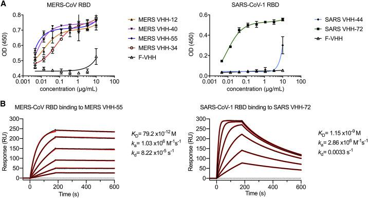 Epitope Determination and Biophysical Characterization of MERS VHH-55 and SARS VHH-72 (A) Reactivity of MERS-CoV and SARS-CoV RBD-directed VHHs against the MERS-CoV and SARS-CoV-1 RBD, respectively. A VHH against an irrelevant antigen (F-VHH) was included as a control. Datapoints represent the mean of three replicates and error bars represent the standard errors of the mean. (B) SPR sensorgrams showing binding between the MERS-CoV RBD and MERS VHH-55 (left) and SARS-CoV-1 RBD and SARS VHH-72 (right). Binding curves are colored black, and fit of the data to a 1:1 binding model is colored red.
