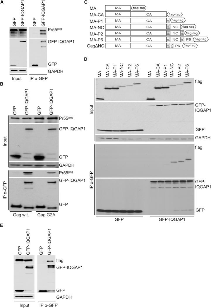 IQGAP1 Interacts with the Nucleocapsid and p6 Domains of HIV-1 Gag (A) IQGAP1 interacts with the HIV-1 Gag protein. HEK293T cells were co-transfected with HIV-1 viral genome (pNL4–3.Luc.R-E-; 1 µg) together with DNAs expressing GFP or GFP-IQGAP1 at a molar ratio of 3 (GFP or GFP-IQGAP1 to pNL4–3.Luc.R-E-). Cell lysates were subjected to immunoprecipitation using anti-GFP antibody. GFP, GFP-IQGAP1, and Gag were detected using western blot. Shown are representative western blots from three independent experiments (n = 3). (B) IQGAP1 interacts with unmyristylated HIV-1 Gag protein. HEK293T cells were co-transfected with HIV-1 viral genome (Gag WT; 1 µg) or with an HIV-1 genome encoding a Gag mutant that cannot be myristylated (Gag G2A; 1 µg) together with DNAs encoding GFP or GFP-IQGAP1 at a molar ratio of 3 (GFP or GFP-IQGAP1 to Gag WT or Gag G2A) and processed as in (A). Shown are representative western blots from three independent experiments (n = 3). (C) Schematic presentation of the Rev-independent flag-tagged Gag domains proteins used for this experiment. (D) The nucleocapsid domain of Gag interacts with IQGAP1. HEK293T cells were co-transfected with DNAs encoding GFP or GFP-IQGAP1 together with 1 µg of the indicated Gag constructs from (C) at a molar ratio of 3 (GFP or GFP-IQGAP1 to HIV-1 Gag constructs) and processed as in (A). Shown are representative western blots from three independent experiments (n = 3). (E) The p6 domain of Gag interacts with IQGAP1. HEK293T cells were co-transfected with the GagDNC construct (C) (1 µg) together with DNAs encoding GFP or GFP-IQGAP1 at a molar ratio of 3 (GFP or GFP-IQGAP1 to GagΔDNC) and processed as in (A). Shown are representative western blots from three independent experiments (n = 3).