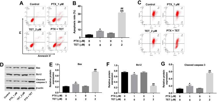 TET enhanced the pro-apoptotic effect of PTX in SKOV3/PTX cells. SKOV3/PTX cells were treated with PTX (1 μM) or/and 2 μM TET for 72 h. ( A, B ) Apoptotic cells were detected by Annexin V/PI double staining and flow cytometry in SKOV3/PTX cells. ( C ) <t>JC-1</t> staining was used to determine MMP loss. ( D ) Expression levels of Bax, Bcl-2 and cleaved caspase 3 in SKOV3/PTX cells were detected with Western blotting. ( E – G ) The relative expressions of Bax, Bcl-2 and cleaved caspase 3 were quantified via normalization to β-actin. *P