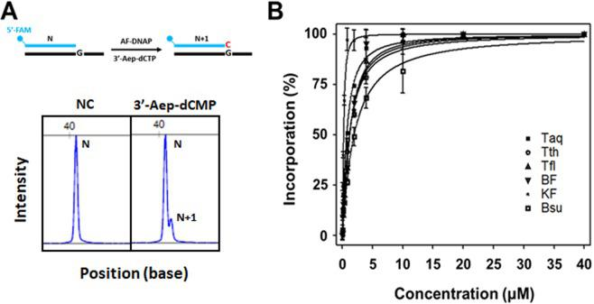 Incorporation of 3'-Aep-dCMP by commercially available A-family DNA polymerases (AF-DNAPs). ( A ) Top, the schematic representation of single 3'-Aep-dCMP incorporation by Taq, Tth, Tfl, BF, KF, or Bsu. Bottom, DNA fragment analysis of the primer (N) and the primer plus an incorporated 3'-Aep-dCMP by BF (N + 1). ( B ) Activities of single 3'-Aep-dCMP incorporation by Taq, Tth, Tfl, BF, KF, or Bsu, respectively. The primer-extension assays were performed as described in the Methods using 0.1, 0.2, 0.4, 0.8, 2, 4, 10, 20, or 40 μM of 3'-Aep-dCTP in the reaction.