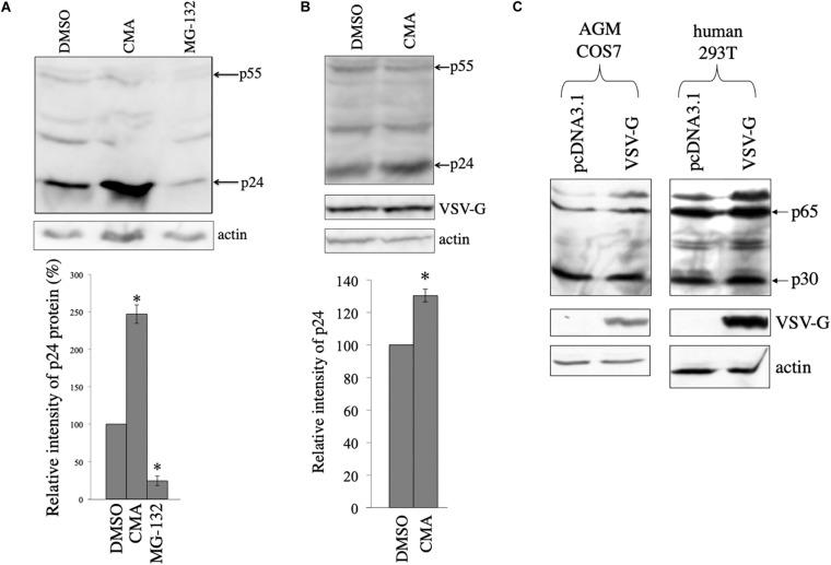 HIV-1 Gag protein is digested in lysosomes and VSV-G rescues Gag protein from the digestion in COS7 cells. (A) COS7 cells were transfected with the HIV-1 Gag-Pol expression plasmid, and then were treated with DMSO, CMA, or MG-132. Cell lysates from the transfected cells were analyzed by western immunoblotting (upper panel). HIV-1 Gag precursor (p55) and mature capsid (p24) were indicated by arrows. Intensities of the p24 protein bands were measured by a densitometer. Relative values to the intensities in the pcDNA3.1-transfected cells are indicated (lower panel, n = 3). Asterisks show significant differences compared to DMSO. (B) COS7 cells were transfected with the HIV-1 Gag-Pol and VSV-G expression plasmids, and were treated with DMSO or CMA. Cell lysates prepared from the treated cells were analyzed by western blotting. Intensities of the p24 protein bands were measured by a densitometer. Relative values to the intensities in the pcDNA3.1-transfected cells are indicated (lower panel, n = 3). Asterisks show significant differences compared to DMSO. (C) AGM COS7 and human 293T cells were transfected with the MLV Gag-Pol expression plasmid together with pcDNA3.1 or VSV-G expression plasmid. Cell lysates prepared from the transfected cells were analyzed by western blotting. MLV Gag precursor (p65) and mature capsid (p30) were indicated by arrows.
