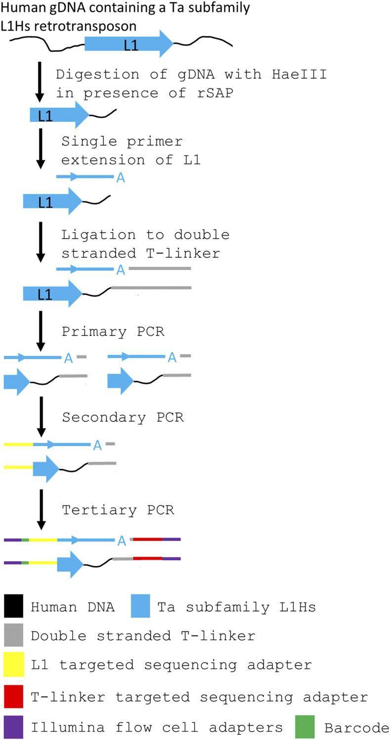 Schematic of the construction of Ta subfamily enriched L1Hs sequencing libraries. gDNA isolated from NeuN+ nuclei was enzymatically digested with HaeIII in the presence of shrimp alkaline phosphatase (rSAP) to fragment the genome and remove 5′ phosphates from cleavage products. A single primer extension using the Ta subfamily specific L1HsACA primer extends the 3′ end of the L1 sequence into the downstream gDNA. The 3′ 'A' overhang from the single primer extension is ligated to a custom T-linker, and primary PCR amplifies the construct using L1HsACA and T-linker specific primers. Hemi-nested secondary PCR using the L1Hs specific L1HsG primer and T-linker primer reduces the length of the L1 sequence carried forward and adds a sequencing adapter to the L1 end. Tertiary PCR uses primers complementary to the 5′ end of library amplicons to add a barcode to the L1 end and Illumina flow cell adapters to both ends of the amplicons.
