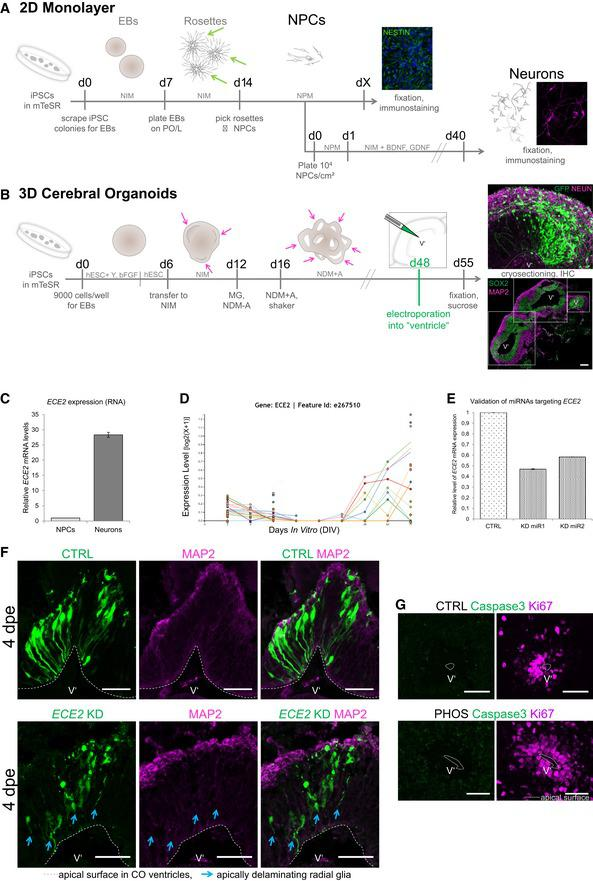 In vitro human model systems and aRG delamination at 4 dpe upon ECE 2 KD in CO s Schemes depicting the generation of NPCs and neurons in 2D (A) 31 via picking of rosettes (green arrows) and in 3D in cerebral organoids (COs, B) 32 . For abbreviations, see Materials and Methods section. Single neuroepithelial regions are marked with pink arrows and with dotted boxes in (B) (scale bar = 200 μm). qPCR of in vitro ‐generated iPSC‐derived NPCs vs. neurons shows higher ECE2 mRNA expression in neurons. RNA sequencing data for ECE2 at different stages of neuronal differentiation from iPSCs ( http://stemcell.libd.org/scb/ ) 40 . Validation of microRNAs targeting ECE2 reveals a KD efficiency of about 40–50% of control levels. Immunostaining of COs at 4 dpe upon ECE2 KD shows delamination of transfected aRG, in contrast to bipolar morphology of aRG in the control condition (aRG, apical radial glia; dpe, days postelectroporation; transfected cells are shown in green, MAP2 + neuronal processes in magenta; scale bars = 50 μm). IHC for cleaved caspase‐3 shows no difference in cell death upon ECE2 inhibition with PHOS for 14 days in COs (scale bars = 50 μm). Data information: (B, F, G) The ventricle‐like lumen in COs is marked with V'.