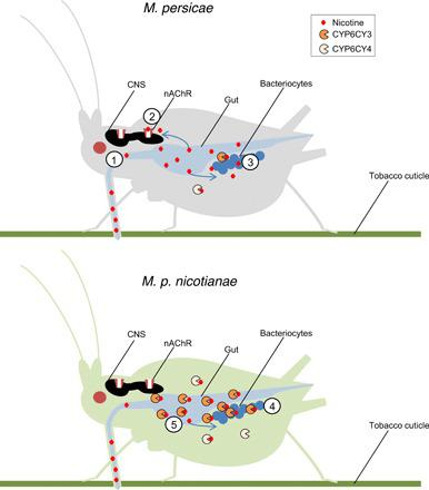 Schematic of the evolution of the molecular innovations in M. p. nicotianae that provide protection from toxic nicotine. Nicotine (1) is taken up via the gut during feeding and causes toxicity to M. persicae via its action at the nicotinic acetylcholine receptor (nAChR) (2) and on the obligate endosymbiont B. aphidicola in aphid bacteriocytes (3). In M. p. nicotianae , chromosomal rearrangements result in the increased expression of CYP6CY3 and CYP6CY4, which detoxify nicotine. In the case of CYP6CY3, expression is significantly enhanced in bacteriocytes (4) and reprogrammed to include the aphid gut (5) providing two lines of defense that protect M. p. nicotianae and its symbiont from this secondary metabolite. CNS, central nervous system.