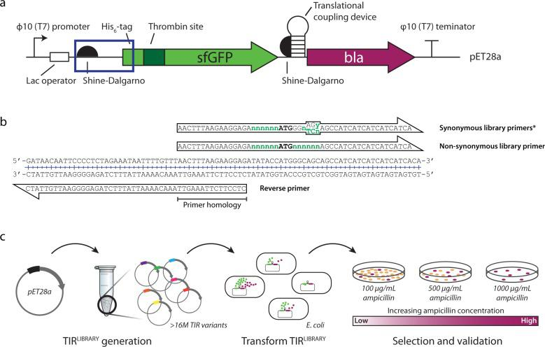 Method for synthetic evolution of the translation initiation region (TIR). a Schematic of the pET28a-His 6 -TPS-sfGFP-translational coupling <t>device-β-lactamase</t> expression cassette. The plasmid encodes for a His 6 -tag, a thrombin protease site (TPS), sfGFP (green arrow), followed by a translational coupling device (hp; weak coupling 1) and the reporter, β-lactamase (bla; purple arrow). The boxed area represents the TIR for the expression cassette. b The pET28a-His 6 -sfGFP-hp-bla plasmid was used as a template for the creation of TIR LIBRARIES ; degenerate primers used to create a TIR LIBRARY with synonymous codon changes and one with non-synonymous codon changes. c Following preparation of a TIR LIBRARY plasmids were transformed into E. coli BL21( DE3 ) pLysS. TIR LIBRARY variants that showed higher levels of protein expression are able to grow on plates at higher concentrations of ampicillin relative to the standard pET28a and were selected.