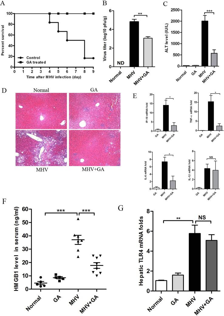 Protective effects of GA against MHV infection in mice by suppressing induction of inflammatory cytokines. C57BL/6 mice were infected with 8×10 5 pfu/mouse (i.p.) for survival studies and 1×10 4 pfu/mouse (i.p.) for acute infections. Two hours later, mice were injected with GA (20 mg/kg, i.p.) every other day (total three times). Five days post infection (dpi), mice were sacrificed and serum and liver samples were collected. (A) Effects of GA administration on the survival of MHV-infected mice. (B) Virus titer in liver homogenates. (C) Serum ALT levels at 5 dpi. (D) Representative H E staining of liver tissues at 5 dpi (magnification ×100). (E) RNA was isolated from liver samples at 5 dpi and levels of inflammatory genes IP-10, TNF-α, IL-6 and IL-1β were assessed using qPCR. (F) HMGB1 release assay was performed using the serum from GA treated mice infected by MHV at 5 dpi. (G) Expression of the TLR4 gene in hepatic tissue from infected mice at 5 dpi. The data show fold inductions as compared to the control group (mean ± SEM, * indicates P