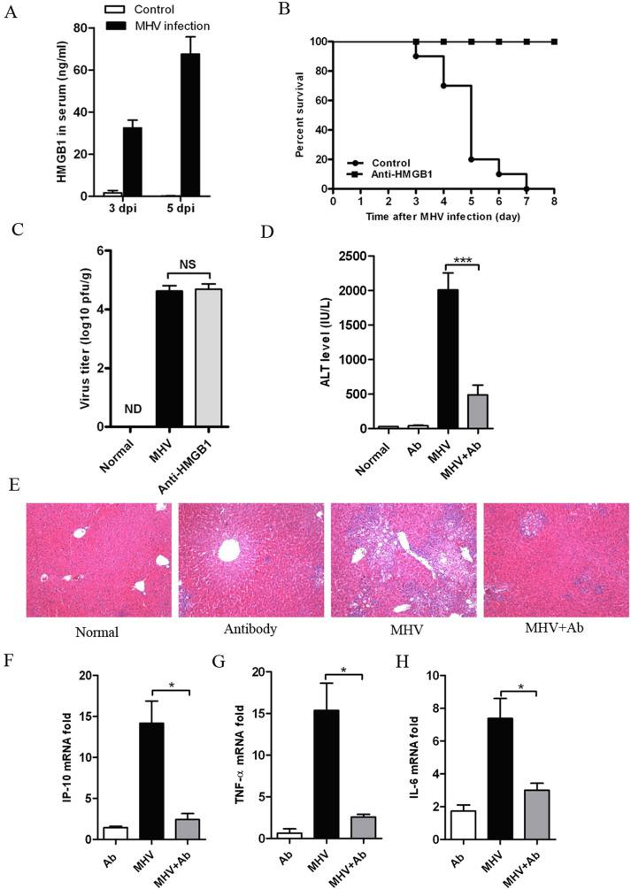 Neutralizing HMGB1 antibody effectively alleviates liver injury induced by MHV-A59 infection. C57BL/6 mice were infected i.p. with 8 × 10 5 pfu/mouse for survival studies and 1 × 10 4 pfu/mouse for acute infections. Two hours after infection, the animals were administered a HMGB1 neutralizing antibody (2.5 mg/kg, i.p.) every other day (total three times). (A) Serum HMGB1 levels following infection at 3 and 5 dpi. (B) Effects of a HMGB1 neutralizing antibody on the survival of MHV infected mice. (C) Virus titers in liver homogenates of infected mice. (D) Serum ALT levels at 5 dpi; (E) Representative H E staining of liver tissues on 5 dpi (magnification, ×100). (F-H) RNA was isolated from the liver samples levels, and the expression of inflammatory genes IP-10, TNF-α and IL-6 was assessed using qPCR. The data are represented as the mean ± SEM, * indicates P