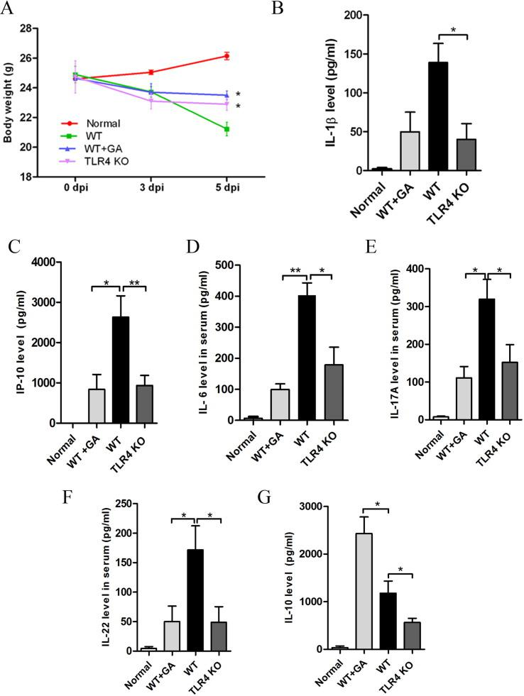 GA regulates pro-inflammatory and anti-inflammatory cytokine release in MHV-infected mice. At 5 days post infection (dpi), mice were sacrificed, serum samples were collected, and cytokines concentration was assayed with an ELISA kit. (A) Body weight change curve of the different infected mouse groups. (B-G) IL-1β, IP-10, IL-6, IL-17, IL-22, and IL-10 cytokine measurement in the serum of infected mice. The data are represented as the mean ± SEM; * indicates P