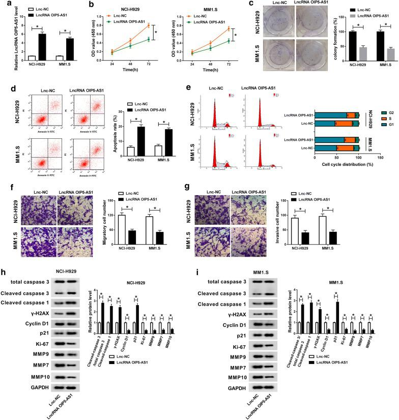 Overexpression of OIP5-AS1 inhibited proliferation and metastasis, but promoted apoptosis of MM cells. MM NCI-H929 and MM1.S cells were transfected with LncRNA OIP5-AS1 or Lnc-NC. a The relative expression of lncRNA OIP5-AS1 in transfected cells was analyzed by qRT-PCR assay. b Cell viability of transfected cells was analyzed by CCK-8 assay. c The colony formation ability of transfected cells was monitored via colony formation assay. d , e The apoptosis rate and cell cycle distribution were tested through flow cytometry assay. f , g The migration and invasion abilities of transfected cells were examined by transwell assay. h , i The protein levels of Cleaved caspase 3/total caspase 3, Cleaved caspase 1, γ-H2AX, Cyclin D1, p21, Ki-67, MMP9, MMP7 and MMP10 were evaluated by western blot analysis. * P