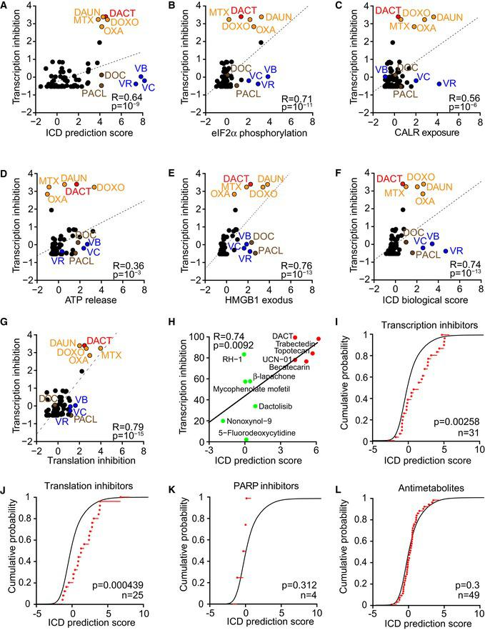 Validation of the inhibition of transcription as a hallmark of ICD at large scale U2OS wild‐type cells were treated with a custom‐made anticancer library as previously described (Bezu et al , 2018 ) at 3 μM, supplemented with 500 μM oxaliplatin (OXA), 150 μM cisplatin, 50 μM resveratrol, and 50 μM spermidine. For assessing transcription, cells were pre‐treated for 1.5 h with the library followed by 1 h with the same drugs in which EU was added. For assessing translation, cells were pre‐treated with the library for 12 h followed by 30 min in methionine‐free medium, before addition of azidohomoalanine (AHA). Percentage of inhibition was calculated and transformed as z‐scores. The correlations between transcription inhibition and ICD prediction score (A), peIF2α expression (B), CALR exposure (C), ATP decrease (D), HMBG1 exodus (E), and biological ICD score (F) previously measured and expressed as z‐scores (except for ICD prediction score) (Bezu et al , 2018 ), as well as between transcription and translation inhibitions (G), were calculated with the Pearson method giving the correlation coefficient (R) and corresponding P ‐values ( P ). Known immunogenic drugs are indicated with colors: dactinomycin (DACT), mitoxantrone (MTX), doxorubicin (DOXO), daunorubicin (DAUN), OXA, docetaxel (DOC), paclitaxel (PACL), vinblastine (VB), vincristine (VC), and vinorelbine (VR) (A‐G). The inhibition of transcription was assessed for the negative and positive ICD hits identified with the predictive algorithm (Fig 1 ). U2OS cells were treated with the agents at concentrations corresponding to their IC 60 : 1 μM dactinomycin (DACT), 50 μM topotecan, 1 μM becatecarin, 0.5 μM trabectedin, 5 μM UCN‐01, 30 μM mycophenolate mofetil, 30 μM nonoxynol‐9, 25 μM dactolisib, 2.5 μM β‐lapachone, 5 μM 5‐fluorodeoxycytidine, and 2 μM RH‐1 for 1.5 h followed by 1 h with EU. The percentage of transcription inhibition was calculated, and the coefficient of correlation (R) and associated P ‐value ( P ) b