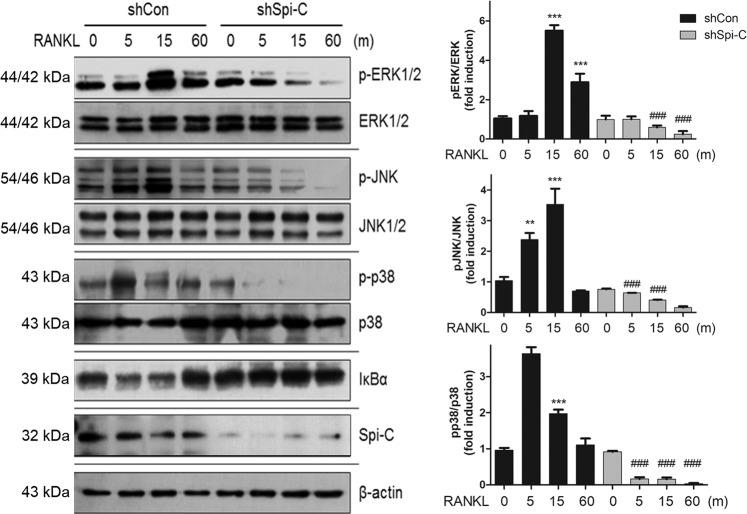 Decrease in RANKL-mediated NF-κB and MAPK activation by Spi-C depletion. BMMs were transduced with a control shRNA lentiviral vector (shCon) or Spi-C shRNA expression lentiviral vector (shSpi-C), serum-starved, and incubated with RANKL (200 ng/ml) for the indicated times. Then, the cells were subjected to western blot analysis with antibodies specific to p-ERK1/2, ERK1/2, p-JNK, JNK1/2, p-p38, p38, IκBα, Spi-C, and actin. Actin was used as a loading control (right panels). The protein bands were quantified using densitometry, and the levels of p-ERK1/2, p-JNK and p-p38 were normalized to the levels of ERK1/2, JNK1/2 and p38, respectively (left panels). ** p