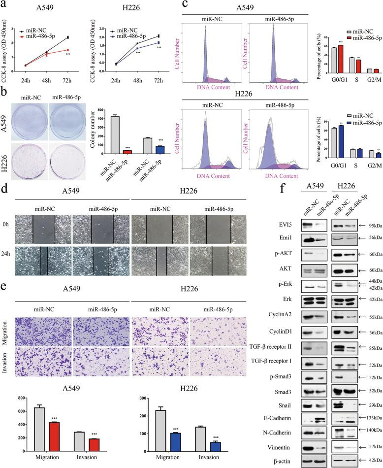 Inhibition of NSCLC cell proliferation, migration and invasion by overexpressing miR-486-5p. a CCK-8 assay of cell viability in NSCLC cell lines transfected with miR-486-5p mimics at 24, 48, and 72 h. b Representative images of the clonogenic assay results for NSCLC cell proliferation. c Flow cytometric analysis of A549 and H226 cells (cells transfected with miR-486-5p mimics vs. miR-NC). Cells were harvested 72 h after transfection and stained with Annexin V/FITC and PI. d Wound healing assay was performed to evaluate the effect of miR-486-5p transfection on cells. e Representative images of the transwell assay results for cell migration and invasion in A549 and H226 cells transfected with miR-486-5p mimics or miR-NC. f A549 and H226 cells were treated with or without miR-486-5p mimics for 72 h. The levels of Emi1, p-Akt, Akt, p-Erk, Erk, CyclinA2, Cyclin D1, TGF-β receptor II, TGF-β receptor I, p-Smad3, Snail, E-cadherin and N-cadherin were analysed by western blotting. β-actin was used as the internal control. Bars represent mean ± SD from three independent experiments. Significant differences compared with the control: ** P