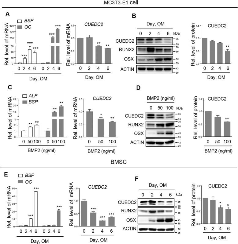 CUEDC2 is downregulated during osteoblast differentiation. a , b , e , f MC3T3-E1 cells and BMSCs were cultured in osteogenic medium [OM; ascorbic acid (50 µg/ml), β-glycerophosphate (5 mM), BMP2 (50 ng/ml)] for 6 days. c , d MC3T3-E1 cells were cultured with BMP2 (50, 100 ng/ml) for 2 days. a , c , e The expression of BSP, OC, and CUEDC2 mRNA was evaluated by real-time PCR using specific primers. * P