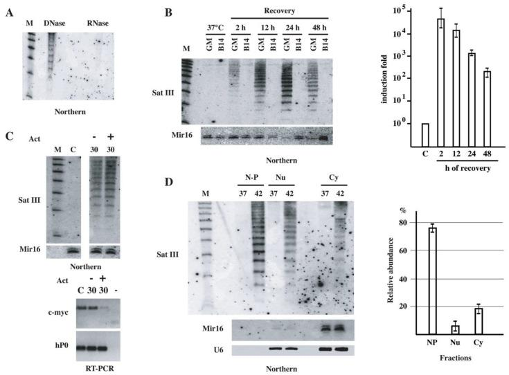 Characterization of short SatIII RNAs. ( A ) Short RNAs were prepared from heat-shocked HeLa cells allowed to recover at 37 °C for 42 h. RNAs were digested with <t>DNase</t> I or with RNase A and then analyzed using Northern blotting with the LNA oligo specific for SatIII repeats. ( B ) Short RNAs were prepared from heat-shocked hamster B14-150 cells and from the hamster > human somatic cell hybrid GM-10611A containing human chromosome 9. RNAs were then analyzed using Northern blotting as in panel A. Hybridization to Mir16 was used as a loading control. The histogram shows the quantitation of long SatIII RNAs in unstressed (C) and in heat-shocked GM10611A cells allowed to recover at 37 °C for the indicated time periods. Data are represented as mean fold increases ± standard deviation of three independent experiments. ( C ) Short RNAs were prepared from unstressed (C) and from heat-shocked (1 h at 42 °C) HeLa cells allowed to recover for 30 h at 37 °C in the presence or in the absence of Actinomycin D (5 μg/mL) during the last 6 h of recovery. The same membrane was hybridized with the LNA probe against SatIII RNAs and with a probe against Mir16 (loading control). M: molecular size marker. Total RNAs prepared from the same cells were analyzed using RT-PCR to assess the level of c-myc RNAs to control the efficacy of Act D treatment. RT-PCR analysis of hP0 <t>RNA</t> was used as a loading control. ( D ) Unstressed (37) and heat-shocked HeLa cells were collected after 40 h of recovery at 37 °C and fractionated in nuclear pellet (N-P), nucleoplasm (Nu) and cytoplasm (Cy) fractions. Total and short RNAs were prepared from each fraction. Short RNAs were analyzed using Northern blotting with an LNA probe against SatIII repeats. As a control of loading and fractionation quality, the same filter was hybridized to a probe against Mir16 (mainly cytoplasmic) and U6 RNAs. Total RNAs from nuclear pellet, nucleoplasm and cytoplasm fractions were prepared from heat-shocked HeLa cells allowed to recover for 40 h at 37 °C. RNAs were analyzed using quantitative RT-PCR. The histogram shows the relative abundance of SatIII RNAs in the three factions as determined in three independent experiments. Data are mean ± standard deviation.