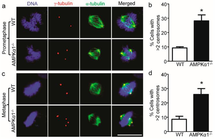 AMPKα1 deletion confers centrosome amplification in MEFs. ( a ) Representative images of centrosome morphologies of WT and AMPKα1 −/− MEFs (scale bar = 20 μm) in the prometaphase of the cell cycle are shown. Centrosomes, spindles, and DNA were co-stained with anti-γ-tubulin antibody (red), anti-α-tubulin antibody (green), and 4.6-diamidino-2-phenylindole (DAPI, blue), respectively, and visualized by fluorescence microscope; ( b ) Quantification data for the percentage of MEFs containing > 2 centrosomes are presented. n = 5, * p