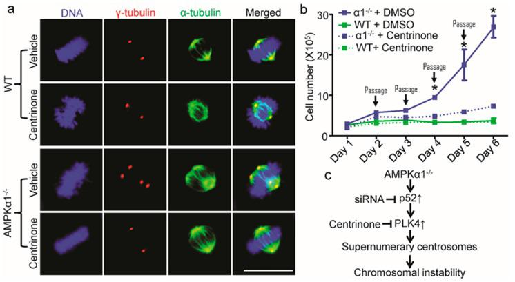 PLK4 inhibition reverses centrosome amplification and cell hyperproliferation in AMPKα1-deleted MEFs. ( a ) PLK4 inhibition by Centrinone blocked centrosome amplification in AMPKα1 −/− MEFs. MEFs were treated with Centrinone (125 nM) or vehicle (DMSO) for 16 h. The cells were treated with nocodazole (20 ng/mL) for 4 hours to depolymerize the microtubules. Then, centrosomes, spindles, and DNA were co-stained with anti-γ-tubulin antibody (red), anti-α-tubulin antibody (green), and <t>4.6-diamidino-2-phenylindole</t> <t>(DAPI,</t> blue), respectively, and visualized by fluorescence microscope (scale bar = 20 μm); ( b ) PLK4 inhibition restrained cellular hyperproliferation in AMPKα1 −/− MEFs. MEF cells were seeded into 10-cm tissue culture dishes at 1 × 10 5 cells/dish. Centrinone was added at 125 nM. Every day, cells were harvested, counted using a Bio-Rad cell counter, and re-seeded into new dishes. Quantification data represent the mean ± S.D. from three separate experiments. * p