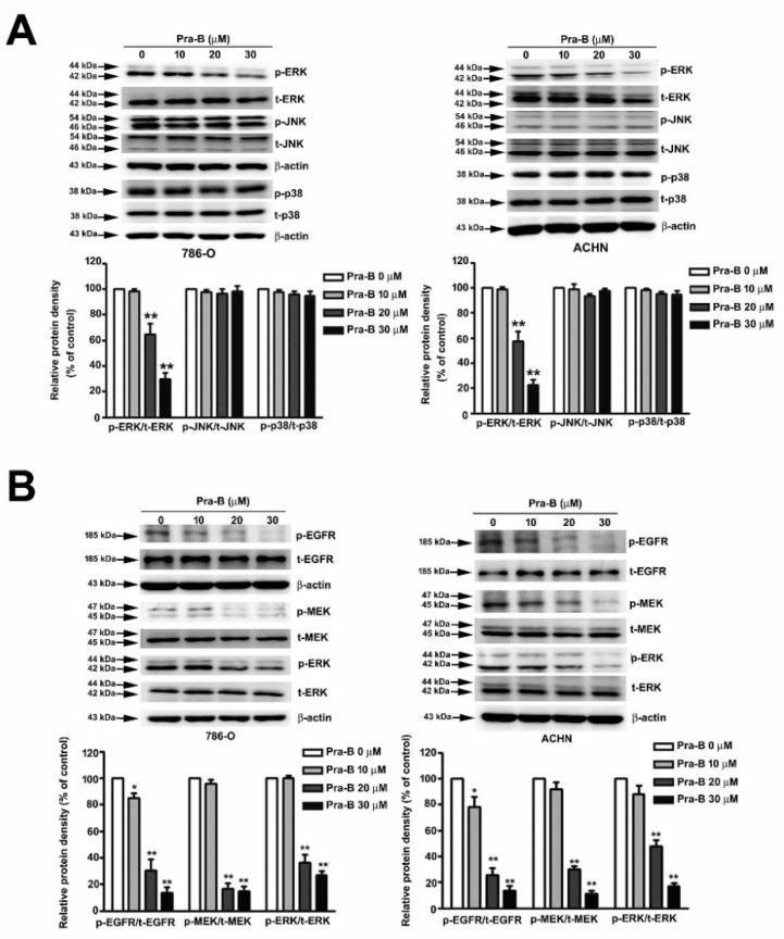 Pra-B suppressed epidermal growth factor receptor (EGFR)–MEK–ERK activation in 786-O and ACHN cells. ( A ) 786-O and ACHN cells were treated with various concentrations of Pra-B (0, 10, 20, and 30 μM) for 24 h, after which the cells were harvested to detect MAPKs-related proteins (p-ERK, t-ERK, p-JNK, t-JNK, p-p38, t-p38) and ( B ) the p-EGFR, t-EGFR, p-MEK, t-MEK, p-ERK, t-ERK protein expression levels through immunoblotting. The histogram represents the densitometric analysis of protein expression. β-actin was used as the loading control. * p