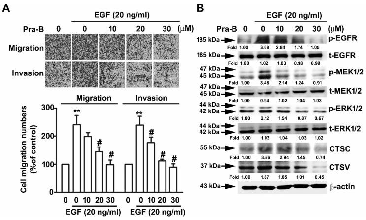 Pra-B attenuated epidermal growth factor-induced migration ability through the EGFR signaling pathway. The cells were pretreated with EGF (20 ng/mL) for 2 h and then incubated with various concentrations of Pra-B (0, 10, 20, and 30 μM) for 24 h. ( A ) Cell migration and invasion were measured using an in vitro migration and Matrigel-based invasion assay. Quantification of migrating cells presented in terms of percentage of control (0 μM) is shown as a histogram. ( B ) Cells were harvested to detect the p-EGFR, t-EGFR, p-MEK, t-MEK, p-ERK, t-ERK, CTSC, and CTSV protein expression levels through immunoblotting. β-actin was used as the loading control. The expression of these proteins was detected by densitometry as an average relative ratio compared to β-actin from three different experiments. ** p