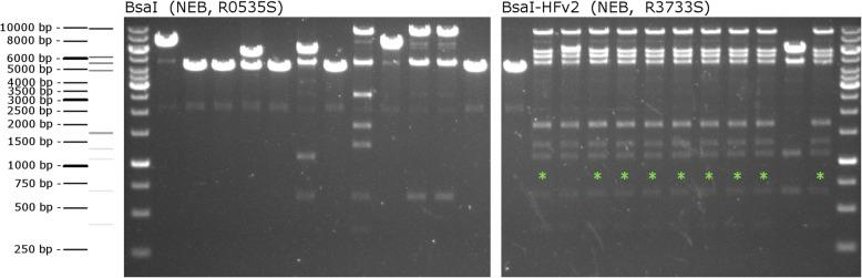 Efficiency of different BsaI enzymes. To test the efficiency of the BsaI-HFv2 enzyme, the same 15 entry vectors were used in a Golden Gate reaction with either the standard BsaI enzyme or BsaI-HFv2. Ten clones resulting from each assembly reaction were picked, digested with EcoRV, and analyzed via agarose gel electrophoresis. A schematic of the DNA sizing ladder and the predicted band pattern for the assembly reaction is shown to the left of the respective agarose gel. Clones demonstrating correct assembly based on the pattern of bands are marked with a green asterisk. While the reaction performed with the standard BsaI enzyme resulted in no correct clones, the reaction with the BsaI-HFv2 enzyme showed 9/10 correct clones