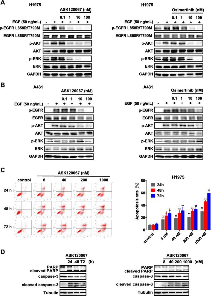 Effect of ASK120067 on cancer cells harboring mutant or wild-type EGFR. a and b ASK120067 or osimertinib inhibited the phosphorylation of EGFR at Tyrosine residue 1068 and its downstream signaling proteins AKT and ERK in NCI-H1975 cells (EGFR L 858 R / T 790 M ) a while showing less activity against the activation of EGFR and its downstream signaling in A431 cells expressing EGFR W T b . c Apoptosis of NCI-H1975 cells was evaluated by flow cytometry after treatment with increasing concentrations of ASK120067 for 24 to 72 h. Data are plotted as the mean ± SEM, and significance of differences was determined by Student's t test ( ∗ p