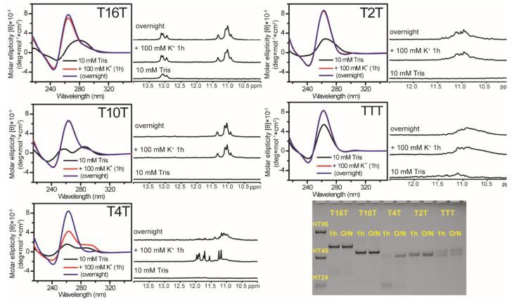 The effect of loop length on G4 formation of (G 3 TG 3 N m G 3 TG 3 ) sequences. CD and NMR spectra of T16T, T10T, T4T, T2T, and TTT in 10 mM Tris and after 1 h and overnight (O/N) addition of 100 mM K + together with their PAGE assays of marker bands of HT24 (T 2 AG 3 ) 4 , HT48 (T 2 AG 3 ) 8 , and HT96 (T 2 AG 3 ) 16 (lane 1) and each sequence after 1 h and O/N addition of 100 mM K + for T16T, T10T, T4T, T2T, and TTT. The same DNA concentration of 100 μM was used in the experiments of CD, NMR and PAGE of this work.