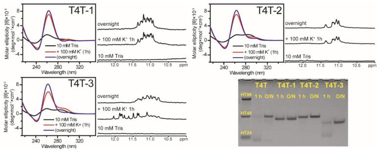 The effect of middle loop base on G4 formation of (G 3 TG 3 N 4 G 3 TG 3 ) sequences. CD and NMR spectra of T4T-1, T4T-2, and T4T-3 in 10 mM Tris and after 1 h and overnight (O/N) addition of 100 mM K + together with their PAGE assays of marker bands of HT24 (T 2 AG 3 ) 4 , HT48 (T 2 AG 3 ) 8 , and HT96 (T 2 AG 3 ) 16 (lane 1) and each sequence after 1 h and O/N addition of 100 mM K + for T4T, T4T-1, T4T-2, and T4T-3. The same DNA concentration of 100 μM was used in the experiments of CD, NMR and PAGE of this work.