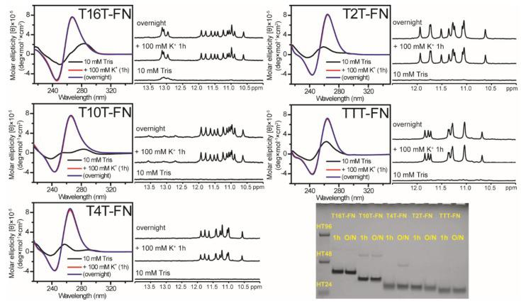 The effect of flanking nucleotides on G4 formation of (G 3 TG 3 N m G 3 TG 3 )-FN sequences. CD and NMR spectra of T16T-FN, T10T-FN, T4T-FN, T2T-FN, and TTT-FN in 10 mM Tris and after 1 h and overnight (O/N) addition of 100 mM K + together with their PAGE assays of marker bands of HT24 (T 2 AG 3 ) 4 , HT48 (T 2 AG 3 ) 8 , and HT96 (T 2 AG 3 ) 16 and each sequence after 1 h and O/N addition of 100 mM K + for T16T-FN, T10T-FN, T4T-FN, T2T-FN, and TTT-FN. The same DNA concentration of 100 μM was used in the experiments of CD, NMR and PAGE of this work.
