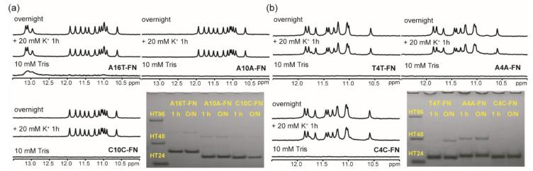 The effect of a single base change in loop 1 and 3 on G4 formation of (G 3 HG 3 N m G 3 HG 3 )-FN sequences. ( a ) NMR spectra of A16T-FN, A10A-FN, and C10C-FN in 10 mM Tris and after 1 h and overnight (O/N) addition of 20 mM K + together with their PAGE assays of marker bands of HT24 (T 2 AG 3 ) 4 , HT48 (T 2 AG 3 ) 8 , and HT96 (T 2 AG 3 ) 16 and each sequence after 1h and O/N addition of 20 mM K + for A16T-FN, A10A-FN, and C10C-FN. ( b ) NMR spectra of T4T-FN, A4A-FN, and C4C-FN in 10 mM Tris and after 1 h and O/N addition of 20 mM K + together with their PAGE assays of marker bands of HT24 (T 2 AG 3 ) 4 , HT48 (T 2 AG 3 ) 8 , and HT96 (T 2 AG 3 ) 16 and each sequence after 1h and O/N addition of 20 mM K + for T4T-FN, A4A-FN, and C4C-FN. The same DNA concentration of 100 μM was used in the experiments of NMR and PAGE of this work.