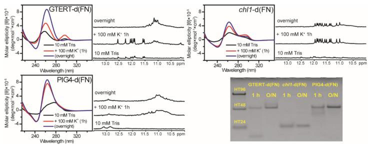 The Effect on G4 formation of native G-rich sequences without flanking nucleotides. CD and NMR spectra of GTERT-d(FN), PIG4-d(FN), and chl1 -d(FN) in 10 mM Tris and after 1 h and overnight (O/N) addition of 100 mM K + together with their PAGE assays of marker bands of HT24 (T 2 AG 3 ) 4 , HT48 (T 2 AG 3 ) 8 , and HT96 (T 2 AG 3 ) 16 and each sequence after 1 h and O/N addition of 100 mM K + for GTERT-d(FN), chl1 -d(FN), and PIG4-d(FN). The same DNA concentration of 100 μM was used in the experiments of CD, NMR and PAGE of this work.