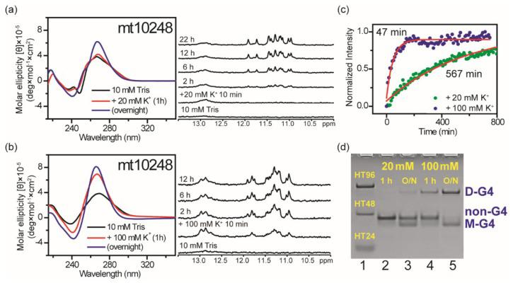 The [K + ] dependent study on the effect of flanking nucleotides on G4 formation of mt10251-FN (mt10248). Time-dependent CD and NMR spectra of mt10248 in 10 mM Tris and after the addition of 20 mM K + ( a ) and 100 mM K + ( b ). The plots of arising CD signals at 265 nm of mt10248 fitted with single exponential after the addition of 20 mM K + and 100 mM K + ( c ). PAGE assays of marker bands of HT24 (T 2 AG 3 ) 4 , HT48 (T 2 AG 3 ) 8 , and HT96 (T 2 AG 3 ) 16 and mt10248 after 1h and O/N addition of 20 mM K + and 100 mM K + ( d ). The same DNA concentration of 100 μM was used in the experiments of CD, NMR and PAGE of this work.