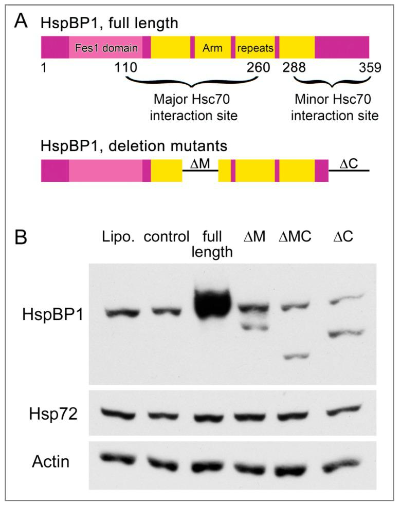 Production of HspBP1 full length protein and deletion mutants. ( A ) Organization of the HspBP1 protein. HspBP1 domains and the regions interacting with hsc70 are shown for the full length protein [ 16 ]. The organization of deletion mutants is also depicted. ( B ) Western blot analysis of full length and mutant HspBP1. Crude extracts were prepared for transfected HeLa cells and probed with antibodies against HspBP1 or hsp72. Actin was used as loading control. Lipo, lipofectamine; ctl, control plasmid; full length HspBP1, ΔM (deletion of residues 154–195), ΔMC (deletion of residues 154–195 and 314–359) ΔC (deletion of residues 314–359). All lanes were on the same blot.