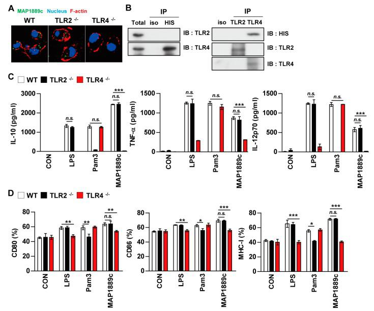 MAP1889c induces DC activation via Toll-like receptor (TLR) 4 pathways. BMDCs derived from wild-type (WT), TLR2 –/– , and TLR4 –/– mice were treated with MAP1889c (10 μg/mL), LPS (100 ng/mL), or Pam3CSK4 (Pam3) (100 ng/mL) for 24 h. ( A ) MAP1889c-treated BMDCs for 1 h were fixed and then stained with <t>4',6-diamidino-2-phenylindole</t> <t>(DAPI)</t> (blue) and Alexa Fluor-488-conjugated anti-MAP1889c antibody. Representative images out of three independent experiments are shown. Scale bar, 10 μm. ( B ) The cell lysates from BMDCs treated with MAP1889c for 6 h were used for immunoprecipitation with anti-mouse IgG and anti-His or with anti-TLR2 and anti-TLR4 antibodies. Thereafter, proteins were detected using immunoblotting with anti-His, anti-TLR2, or anti-TLR4 antibodies. The total is shown as the mean total cell lysates (input). ( C ) Production of IL-10, TNF-α, and IL-12p70 in the culture supernatants was determined by ELISA. All data are expressed as the mean ± SD ( n = 3). ( D ) Expression of CD80, CD86, and MHC class I molecules on BMDCs stimulated with each antigen was determined by staining and flow cytometry. The bar graphs show the mean percentage ± SEM of each surface molecule on CD11c + cells across three independent experiments. * p