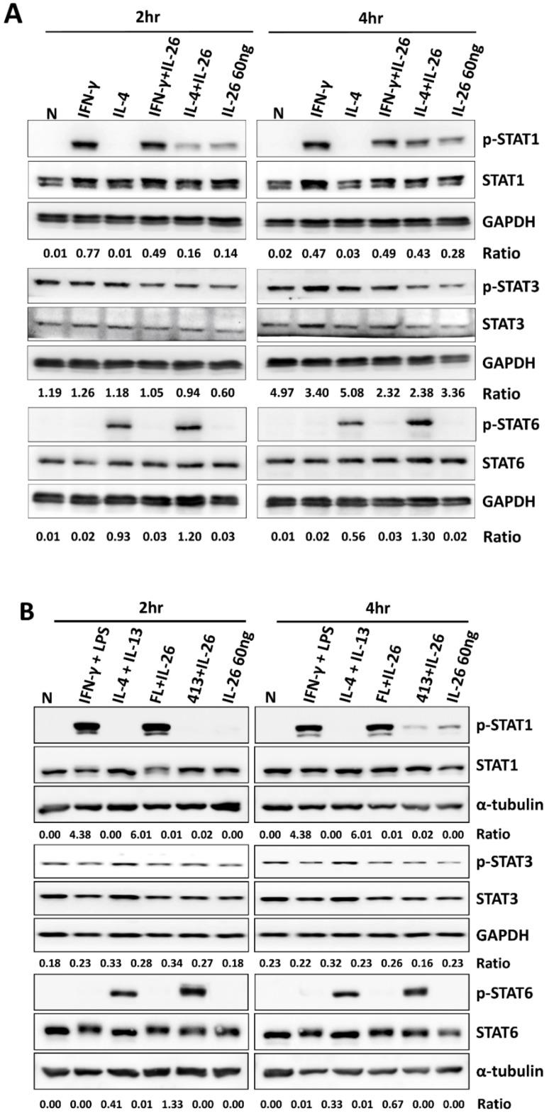 Effect of IL-26 on <t>STAT1,</t> STAT3, and STAT6 activation in M1 and M2 macrophage differentiation. ( A ) RAW264.7 cells were serum-starved for 16 h and treated with IFN-γ (20 ng/mL) or IL-4 (20 ng/mL) in the presence or absence of IL-26, and ( B ) THP-1 cells were treated with IFN-γ (20 ng/mL) plus LPS (10 ng/mL) or IL-4 (20 ng/mL) plus IL-13 (20 ng/mL) in the presence or absence of IL-26 for 2 and 4 h to further detect phosphorylated or non-phosphorylated STAT1, STAT3, and STAT6 proteins. Cell extracts were analyzed by western blot using antibodies specifically directed against the phosphorylated forms of STATs, compared with data obtained with antibodies directed against the unphosphorylated states of the kinases. Equal amounts of protein were loaded in each lane as demonstrated by the level of GAPDH. A representative result of at least three independent experiments is shown. (FL+IL-26: IFN-γ+LPS+IL-26; 413+IL-26: IL-4 + IL-13+IL-26)