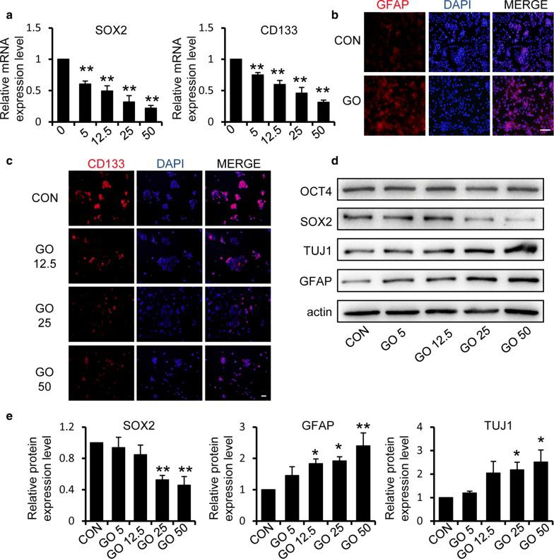 Graphene oxide reduces the expression of stem cell markers and promotes the differentiation of GSCs. a Quantification of the mRNA levels of stem cell markers SOX2 and CD133 in GSCs with or without treatment with GO. b The intracellular expression of the differentiation marker GFAP after treatment with 50 μg/ml GO was examined using immunofluorescence staining. Scale bar = 100 μm. c The expression level of the stem cell marker CD133 in cells treated with different concentrations of GO was detected by immunofluorescence staining. Scale bar = 50 μm. d , e Representative immunoblots and relative quantification of OCT4, SOX2, TUJ1 and GFAP in GSCs after treatment with 0, 5, 12.5, 25 and 50 μg/ml GO respectively. * p