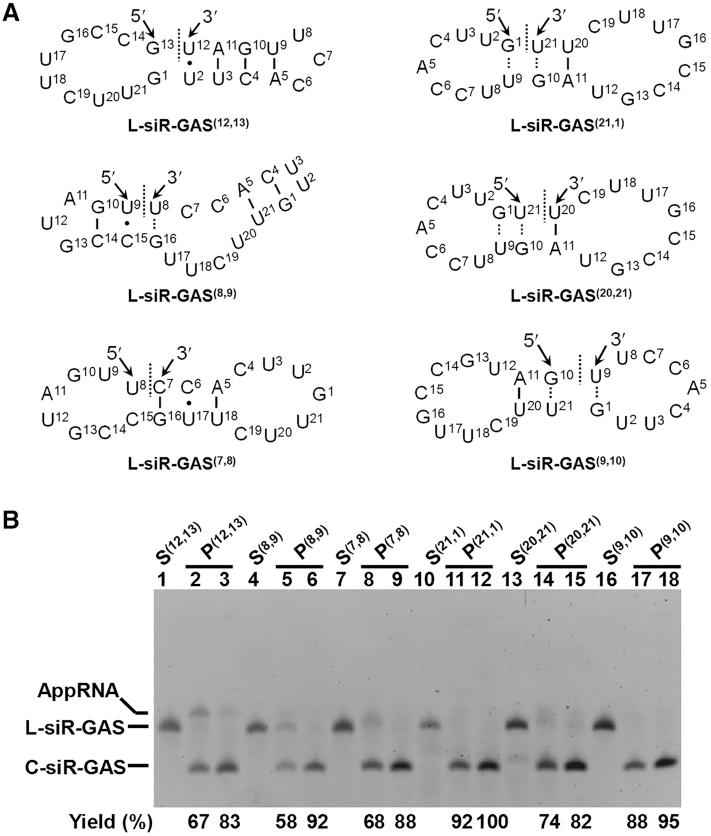 Circularization of L-RNA having smaller number of terminal base pairs. ( A ) Proposed structures of L-siR-GAS (12,13) , L-siR-GAS (8,9) , L-siR-GAS (7,8) , L-siR-GAS (21,1) , L-siR-GAS (20,21) and L-siR-GAS (9,10) . These structures are some possible structures, which we propose to be formed due to Rnl2 binding for ligation. ( B ) About12% denaturing PAGE. In lanes 2, 5, 8, 11, 14 and 17, [L-RNA] = 2 μM and [T4 Rnl2] = 0.2 U/μl, 25°C, 2 h, 1 × buffer; in lanes 3, 6, 9, 12, 15and 18, [L-RNA] = 10 μM and [T4 Rnl2] = 1 U/μl, 12 h, 1 × buffer. Lanes 1, 4, 7, 10, 13and 16 refer to the substrates alone.