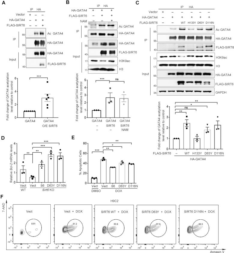 SIRT6 enhances GATA4 acetylation and protects against DOX-induced myocyte apoptosis independently of its deacylase activity. ( A ) Western blotting showing the acetylation level of GATA4 immunoprecipitated from HEK293 cells overexpressing of FLAG-SIRT6 and HA-GATA4. Acetylation level was determined with anti-acetyl lysine (AcK) antibodies. Lower, fold change of the acetylation level of GATA4 relative to HA-GATA4 only control, determined by ImageJ. n = 6. *** P