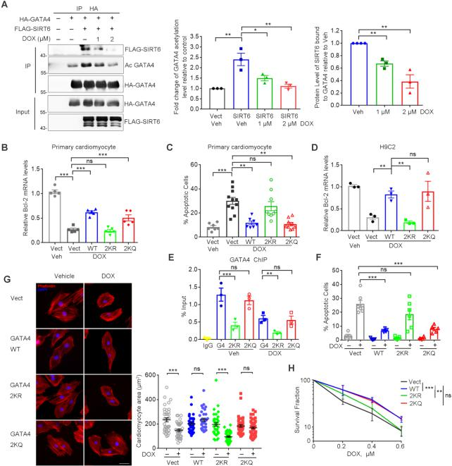 Hypoacetylation of GATA4 diminishes cardio-protection against DOX. ( A ) Western blotting analysis of the levels of FLAG-SIRT6 protein and HA-GATA4 acetylation in the precipitated pool of HA-GATA4 with DOX treatment at 0, 1, 2 μM for 6 h (left). Percent level of acetylated GATA4 relative to vehicle/no FLAG-SIRT6 control (middle) and percent FLAG-SIRT6 bound to HA-GATA4 relative to vehicle control (right). Quantification was performed by ImageJ. n = 3. * P