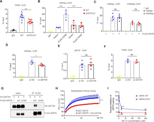 The SIRT6–TIP60–GATA4 axis facilitates chromatin accessibility. ( A, B ) ChIP assay was performed using anti-TIP60 or anti-H3K9ac antibody in WT and SIRT6 KO HEK293 cells with or without overexpression of FLAG-TIP60. The enrichment of TIP60 and H3K9ac on Bcl-2 promoter was analyzed by qPCR. ** P