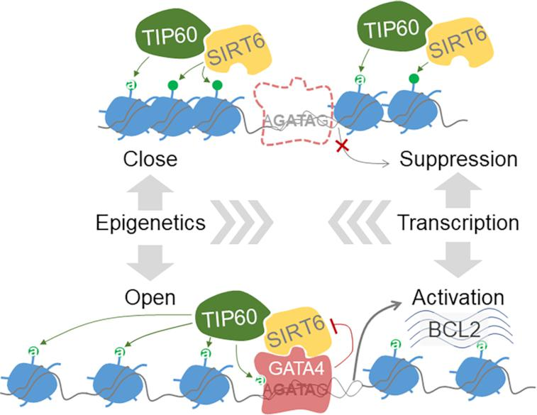 A schematic model: a SIRT6–TIP60–GATA4 axis couples gene transcription and epigenetic activation. SIRT6 initially occupies the promoter region via a nucleosome-binding property and recruits TIP60 to balance dynamic acetylation of local histones. When GATA4 comes by recognizing the GATA sequence and simultaneously interacts and blocks SIRT6 deacetylase activity, TIP60 acetylates GATA4 to enhance its transcription activity. The inhibition of SIRT6 disrupts local histone acetylation balance, thus ensuring an open chromatin structure for transcription.