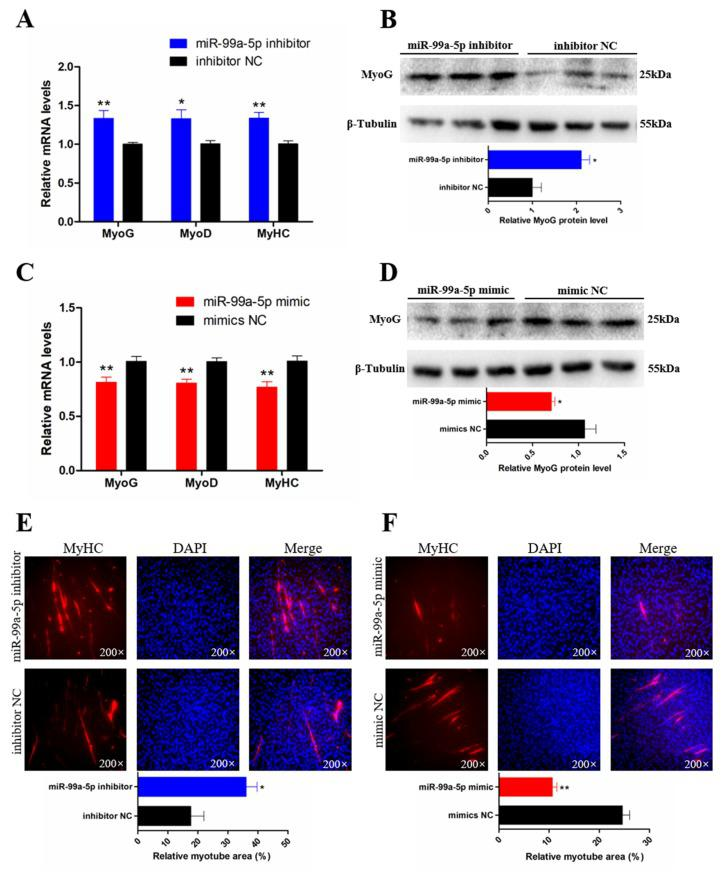 miR-99a-5p inhibits the differentiation of chicken SMSCs. ( A , C ) The mRNA levels of muscle cell differentiation marker genes were detected by qRT-PCR in SMSCs after overexpression and inhibition of miR-99a-5p. ( B , D ) Western blotting results of myogenin (MyoG) in SMSCs after transfection with miR-99a-5p mimic and inhibitor (upper panels). The relative protein level of MyoG in SMSCs after overexpression and inhibition of miR-99a-5p. ( E , F ) Anti-Myosin heavy chain (MyHC) immunofluorescence staining after the transfection of miR-99a-5p mimic and inhibitor in SMSCs (upper panels). Relative myotube area of chicken SMSCs following miR-99a-5p overexpression and inhibition (lower panels). Results are shown as mean ± SEM and the data are representative of at least three independent assays. Student's t -test was used to compare expression levels among different groups. * p